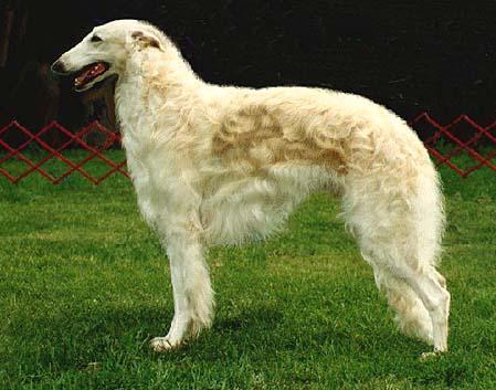 A Borzoi Dog Figure 1  Basic Borzoi