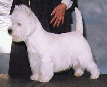 West Highland White Terrier Heads Photos 19 22